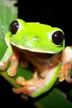 i love frogs!! I had a White's Australian Tree Frog, Or Kermit frog. His name was Mr. Puddles.