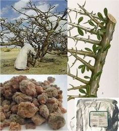 Myrrh  Latin Name: Commiphora Murrha(Source : North Africa, Asia, Somalia)  PROPERTIES: Myrrh has been used since ancient times as a sacred incense, a perfume, and as a therapeutic agent. It has a rich, smoky, balsamic odour and is soothing to the skin, centring, visualising and meditative. The sap or resin from a tree rather than a true essential oil. One of the oldest-known perfume materials. Myrrh has a long history of use as incense, especially with frankincense.