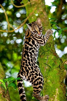 Oncilla, a rare jungle cat, Costa Rica Very difficult to differentiate between the oncilla, the ocelot, and the margay. All 3 have nearly the same habitat, and are similar in color and spotting.
