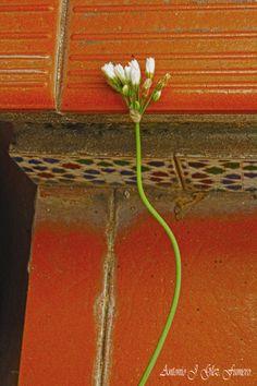 Los nardos son unas plantas muy apreciadas tanto por la fragancia que desprenden, como por la belleza de sus flores, que pueden ser blancas o rosadas.