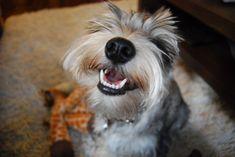 miniature schnauzer smiling