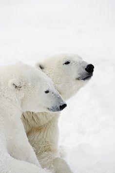 Animals Beautiful, Cute Animals, Arctic Animals, Baby Animals, Polar Bears International, Wild Animals Photography, Bear Photos, Bear Pics, We Bear