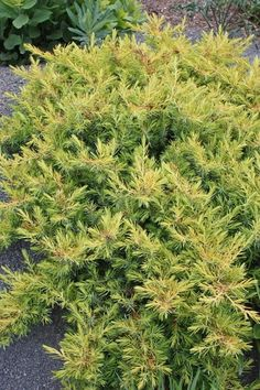 All Gold Shore Juniper for sale buy Juniperus conferta 'All Gold' Full Sun Perennials, Hardy Perennials, Sun Garden, Night Garden, Rabbit Resistant Plants, Mail Order Plants, Buy Plants Online, Ground Cover Plants, Marijuana Plants