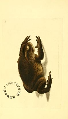 Toad, The Zoological Miscellany: Being descriptions of new, or interesting animals, Vol III, William Elford Leach, 1817.
