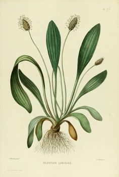 Plantain, or as I was taught to call it, Englishman's foot, One of the first plants I ever loved.  Atlas - Nouvelle iconographie fourragère : - Biodiversity Heritage Library