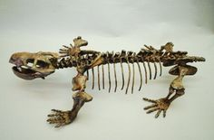 Dicynodontian Skeleton Mounted - Austalobarbarus kotelnichi.for sale at www.SkeletonsAndSkullsSuperstore.com. These fossil replicas are ideal for educators, veterinarians and students.
