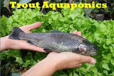 When being taken care of properly, trout aquaponics can grow into a decent size. Trout is one of the best aquaponics fish because it has a fast growth rate.