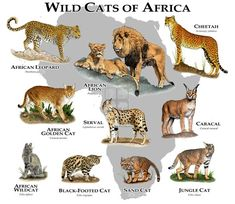 Did you know there are ten species of African cats? The three big cats everyone knows as well as seven smaller cats. Here is the list of African cats. African Cats, African Leopard, African Wild Cat, Types Of Wild Cats, Felis Margarita, Black Footed Cat, Wild Cat Species, Sand Cat, Arte Fashion