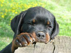 Rottweiler puppy getting it's fiber