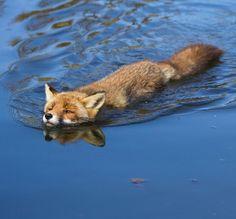 "beautiful-wildlife: ""Swimming Red Fox by Angela Louwe "" Fantastic Fox, Fabulous Fox, Fox Spirit, Spirit Animal, Most Beautiful Animals, Beautiful Creatures, Fuchs Baby, Animals And Pets, Cute Animals"