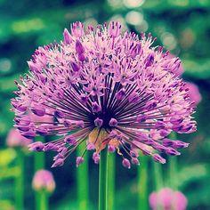 Flower kukka nature luonto kasvi Plans, Dandelion, Nature, Flowers, Naturaleza, Dandelions, Taraxacum Officinale, Nature Illustration, Off Grid
