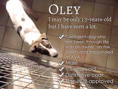 adopt singapore dog oley