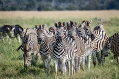 Website dedicate to Wildlife photography Wildlife Photography, Animal Photography, African Animals, Safari Animals, Zebras, Just Go, Horses, Game, Gallery