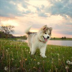 Who doesn't love #puppies and #sunsets ?! Siberian Husky