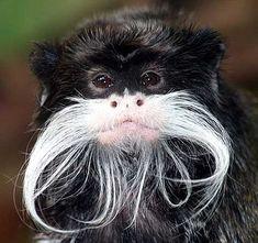 Emperor Tamarin Monkey!!! haha