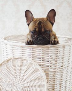 """Peekaboo""......""did you get the shot?"",,,,""great, now get me out of here!"", photogenic French bulldog Puppy."