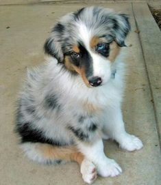 Skylark the Australian Shepherd puppy
