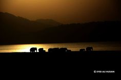 Awesome Photography — A herd of Asian elephants taking a golden bath in Ramganga at Dhikala zone in Corbett National Park
