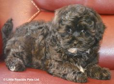 Beautiful Shichon/Zuchon little boy - Designer and Cross Breed Puppies For Sale