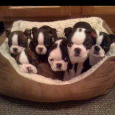 Boston terrier litter size