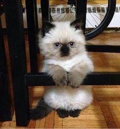 Himalayan kitten!