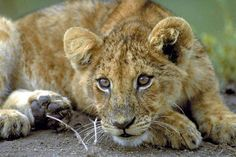 Junger Löwe ( Panthera leo ), Masai Mara - jetzt bestellen auf kunst-fuer-alle.de