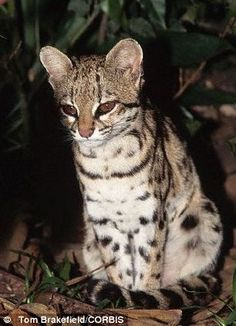 tigrinas //The new study revealed a complicated set of relationships between the creatures (here one from the south is pictured) and two other species of Neotropical cats  Read more: http://www.dailymail.co.uk/sciencetech/article-2515030/New-species-Oncilla-cat-looks-EXACTLY-like-discovered.html#ixzz2wIEN1eM0