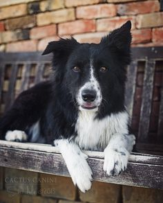 The eyes say it all with border collies. Mine is so like this one. I adore the breed. Once you have had a border collie..well...Mine are rescued dogs. Do not want to preach but there are a lot of wonderful dogs..if you want a BC there are lots that need homes. But be prepared! This is not an average dog. See those eyes?