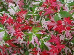 Acer palmatum 'Kotobuki'