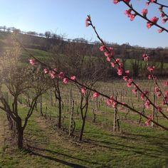 March in blossom #bedandbreakfastitaly #marchetourism #italy #bbmulinobarchio #marcheforyou #marchetourism #lemarche