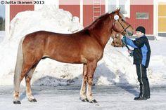 Trotter-type Finnhorse stallion Virijori