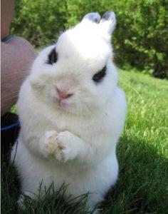 Baby hotot bunny