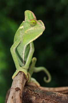 Chameleon by Bill McBride Ocean Photography, Reptiles And Amphibians, Circle Of Life, Science And Nature, Amazing Nature, Beautiful Creatures, Lizards, Cute Animals, Amphibians