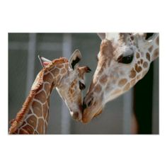 >>>Cheap Price Guarantee          Giraffe and Baby print           Giraffe and Baby print in each seller & make purchase online for cheap. Choose the best price and best promotion as you thing Secure Checkout you can trust Buy bestShopping          Giraffe and Baby print Review on the This ...Cleck Hot Deals >>> http://www.zazzle.com/giraffe_and_baby_print-228213434237443267?rf=238627982471231924&zbar=1&tc=terrest