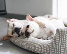 """Monday got us like""...pooped French Bulldogs #piggyandpolly"