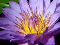 Image result for lotus flower hawaii purple