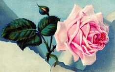 This is a gorgeous collection of Pink Rose Images! So many beautiful Vintage Pink Roses Illustrations to use in your Craft and Journal projects! Pink Roses Background, Blue Background Images, Vintage Christmas Images, Vintage Images, Henri Matisse, Vintage Flowers, Vintage Pink, Vintage Clip, Transfer Images To Wood