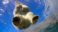Polar bear on ice (credit: Stig Nygaard / CC by 2.0)