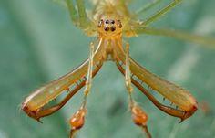 Male large-jawed spider (Tetragnathidae)