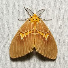 Lymantriine Moth (Cispia cf. venosa, Lymantriinae, Erebidae) Pu'er, Yunnan, China