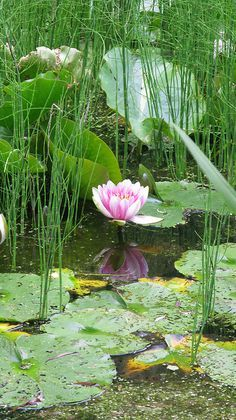 11 Mind-Blowing Reasons Why Lily Flower Pond Is Using This Technique For Exposure Pond Plants, Aquatic Plants, Water Pond, Water Garden, Herb Garden, Beautiful Gardens, Beautiful Flowers, Lotus Garden, Carpe Koi