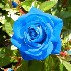 Egrow Blue Dragon Rose Seeds Rare Beautiful Stripe Rose Bush Plant Garden is fashionable and cheap, come to NewChic to see more trendy Egrow Blue Dragon Rose Seeds Rare Beautiful Stripe Rose Bush Plant Garden online. Blue Roses Wallpaper, Light Blue Roses, Bush Plant, Rosa Rose, Rose Images, Hybrid Tea Roses, Rose Bush, Flower Seeds, Beautiful Roses