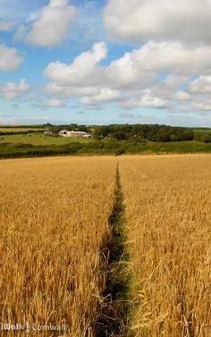 Footpath through the wheat near Marsland, Cornwall