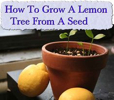 Growing a lemon tree is not that difficult. As long as you provide their basic needs, growing lemons can be a very rewarding experience. Typically, lemon tree