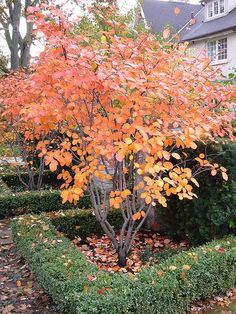 Amelanchier alnifolia showing fall colour. Also known as serviceberry & Saskatoon berry. Edible berries high in pectin, iron,copper. Wood is good for tool handles. Forms rootstock for Malus spp. Spring insectary.