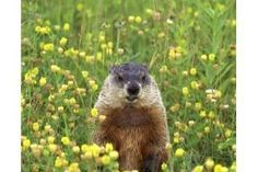 Natural Ways to Get Rid of Groundhogs | eHow
