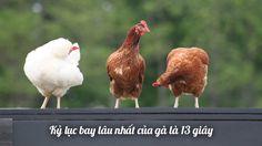 Kỷ lục bay lâu nhất của gà là 13 giây