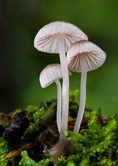 Nahuby.sk - Fotografia - prilbička červenoobrúbená Mycena rubromarginata (Fr.) P. Kumm.