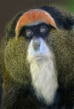 A Debrazza Guenon monkey at the San Diego Zoo