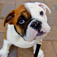 I wish George and I could put an English bulldog on our wedding registry.